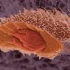 Нобелевскую премию по физиологии и медицине присудили за исследование «самопоедания» клеток