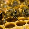 Почему пчел так много?
