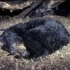 Что происходит с организмом медведя во время спячки? Комментарий специалиста