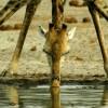 Физика в мире животных: жираф и его «насос»
