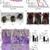 Генная терапия продлила жизнь мышам на 30%
