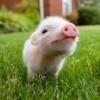 Американские ученые начали выращивать химер, соединяющих свинью и человека