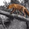 Австралийские коалы в опасности из-за лисиц