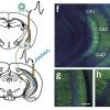 Создано композитное оптоволокно, которое передаёт в мозг (и обратно) оптический, электрический сигналы и жидкость