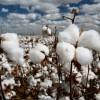 Отказ от выращивания неустойчивых к вредителям растений можно приравнять к запрету устойчивых ГМ-сортов