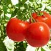 Рак желудка будут лечить с помощью помидоров