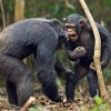 У шимпанзе обнаружили культурный прогресс