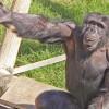 Учёные утверждают, что интеллект обезьян неправильно оценивали десятилетиями