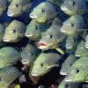 Ученые выяснили, какое эмоциональное состояние может быть у рыб