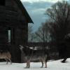 Волки покидают зону отчуждения ЧАЭС