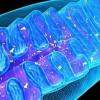 SENS-диагностика. Биомаркеры митохондриальной дисфункции и окислительного стресса
