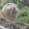 На Гавайях замечены тюлени с угрями в ноздрях