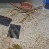Гигантский краб-паук выбирается из панциря: видео