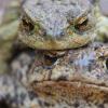 Тысячи ядовитых жаб атаковали Флориду