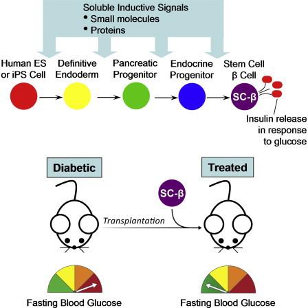 Ученые из Гарварда научились выращивать инсулиновырабатывающие клетки в промышленных масштабах