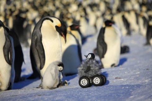 Для изучения поведения пингвинов ученые подослали в их стаю робота