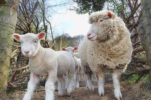 Жители Британии будут «получать» интернет по Wi Fi от овец