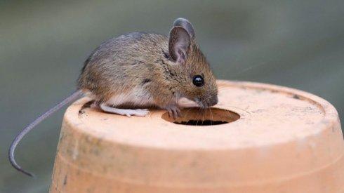 Ученые повысили уровень интеллекта мыши, пересадив ей клетки человеческого мозга