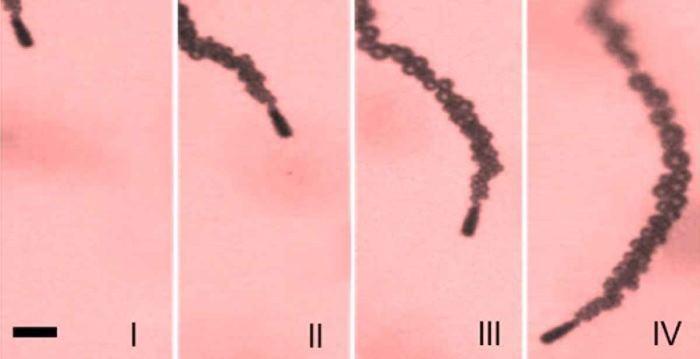 Микроробот доставил лекарственные препараты в желудок живой мыши - 2