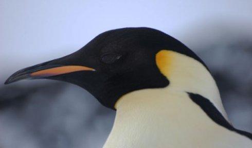 Медики установили пингвину искусственный клюв