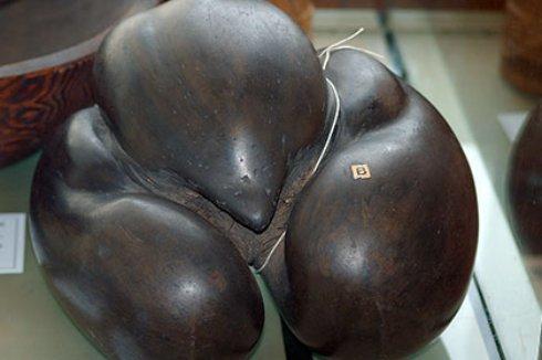 Раскрыт секрет крупнейших в мире 25 килограммовых семян
