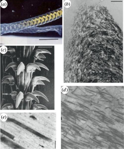 Зубы морского блюдечка — самый прочный материал в природе - 2