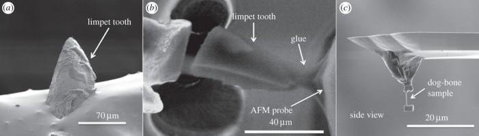 Зубы морского блюдечка — самый прочный материал в природе - 1