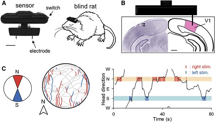 Имплантация геомагнитного компаса в мозг крысы прошла удачно - 2
