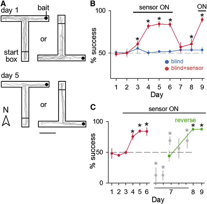 Имплантация геомагнитного компаса в мозг крысы прошла удачно - 3