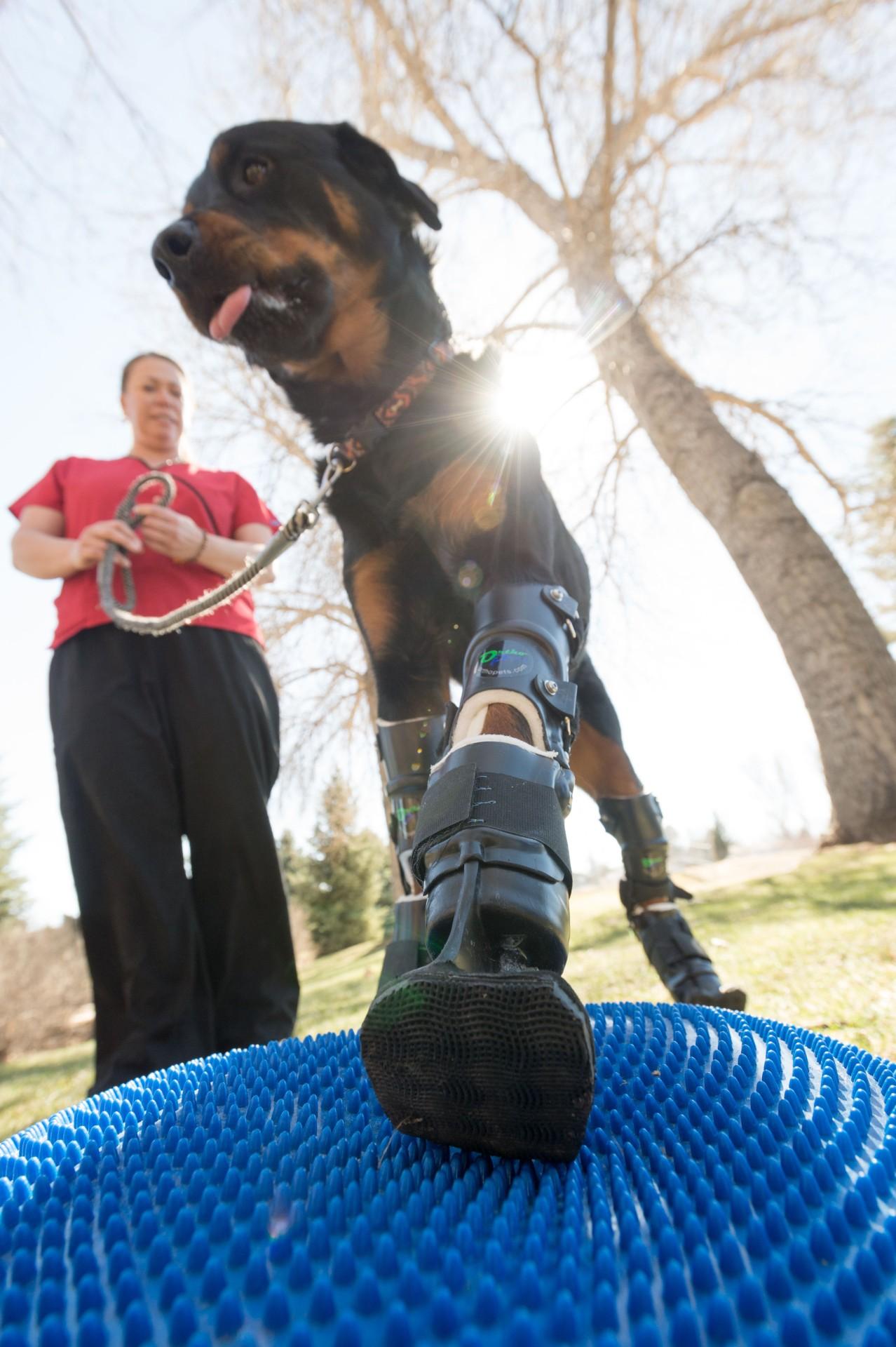 БРУТальная история со счастливым концом: пес с обмороженными лапами получил современные протезы - 3