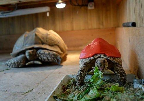 На черепаху одели панцирь, напечатанный на 3D принтере