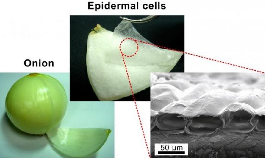Тайваньские учёные создали искусственные мускулы из лука - 1
