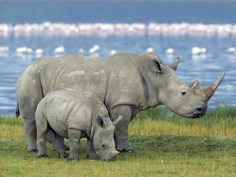 Биотехнологический стартап из Сан-Франциско разработал искусственный рог носорога для снижения уровня браконьерства - 1