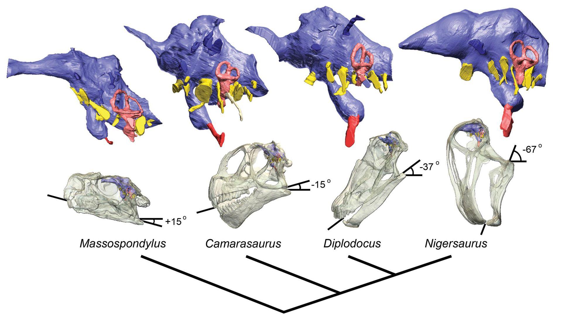 Сравнительная физиология динозавров и птиц. Популярно о малоизвестном. Часть 1 «Кости титанов» - 21