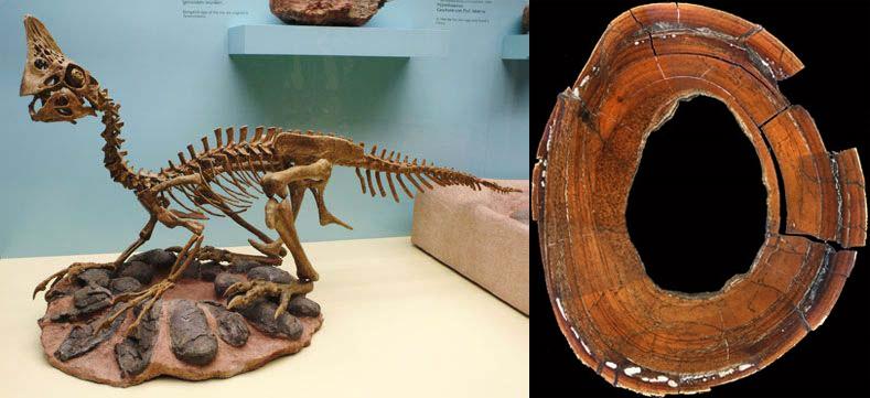 Сравнительная физиология динозавров и птиц. Популярно о малоизвестном. Часть 1 «Кости титанов» - 25