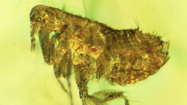В блохе из куска янтаря возрастом 20 млн лет нашли чумную палочку - 1