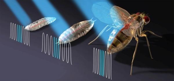 Биологи продемонстрировали оптический стимулятор сердца на мухах - 1