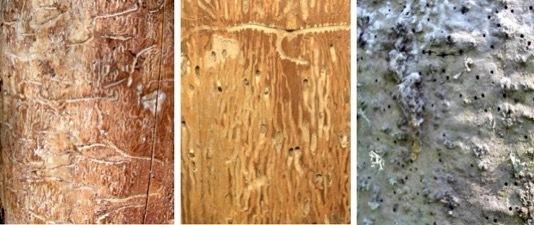 Пихтовые леса Сибири уничтожают жуки размером два миллиметра - 3