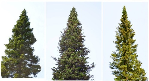 Пихтовые леса Сибири уничтожают жуки размером два миллиметра - 5