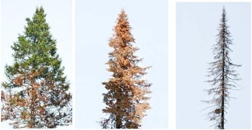 Пихтовые леса Сибири уничтожают жуки размером два миллиметра - 6