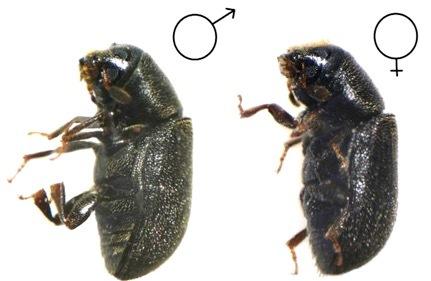Пихтовые леса Сибири уничтожают жуки размером два миллиметра - 1