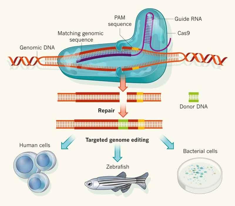 Технику редактирования генов CRISPR испытают на людях в 2017 году - 1