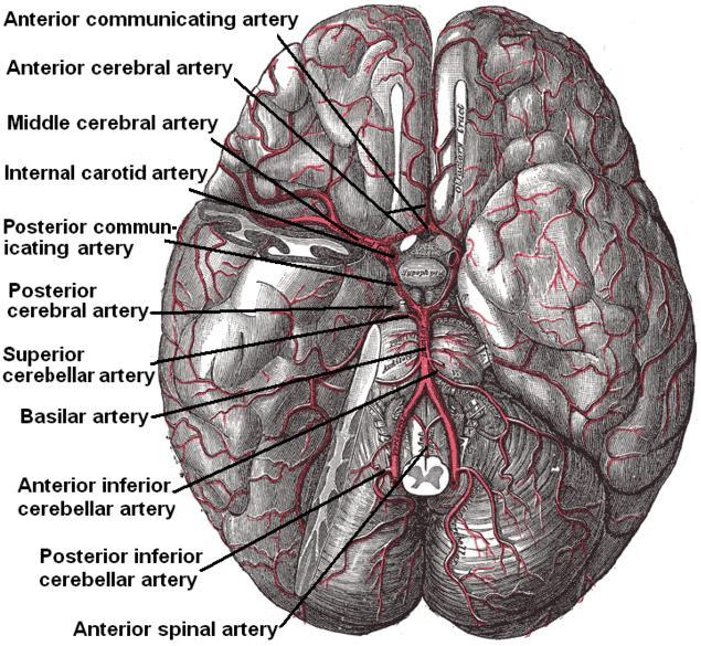 История изучения мозга от Древнего Египта до начала XX века - 25