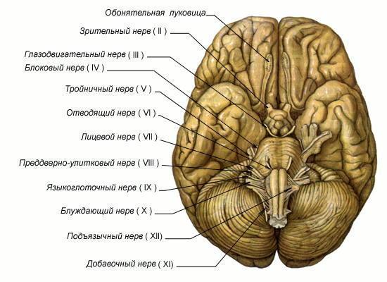 История изучения мозга от Древнего Египта до начала XX века - 28