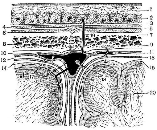 История изучения мозга от Древнего Египта до начала XX века - 31