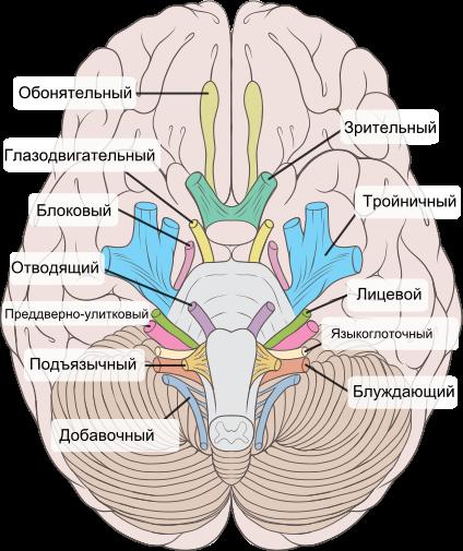 История изучения мозга от Древнего Египта до начала XX века - 35