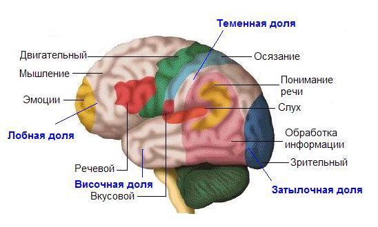 История изучения мозга от Древнего Египта до начала XX века - 48