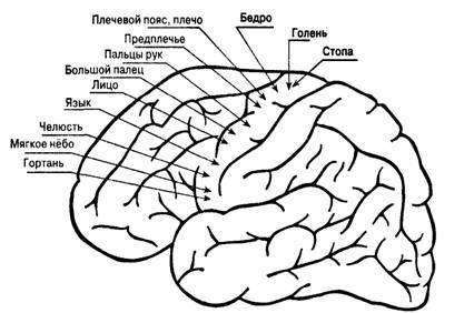 История изучения мозга от Древнего Египта до начала XX века - 59