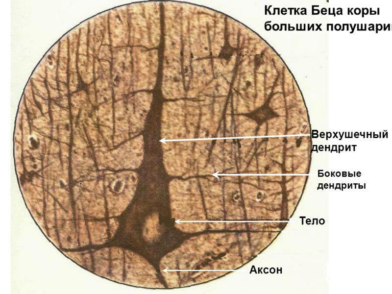 История изучения мозга от Древнего Египта до начала XX века - 62