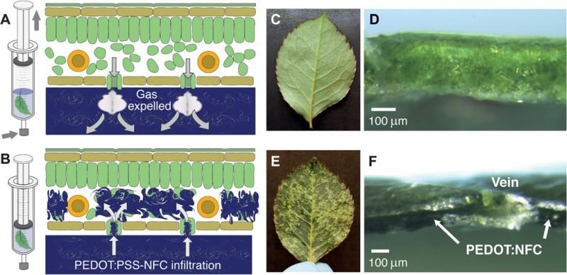 Растения-киборги. Новый полимер превращает клетки живых растений в электрические цепи и транзисторы - 2